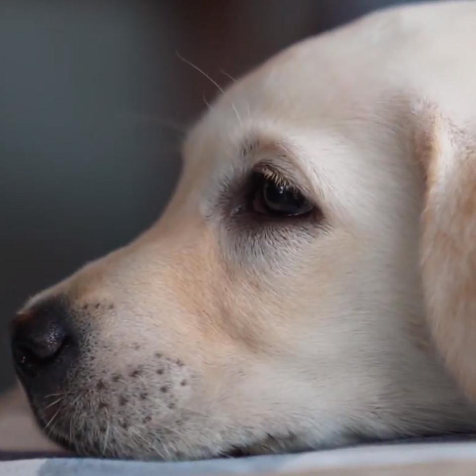 【LIFEAPP X 台灣導盲犬協會】導盲犬的第一個家